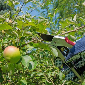 Tăierea pomilor fructiferi – unelte necesare, tipuri de tăiere, greșeli frecvente