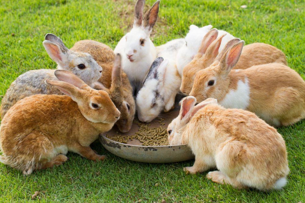 cresterea-iepurilor