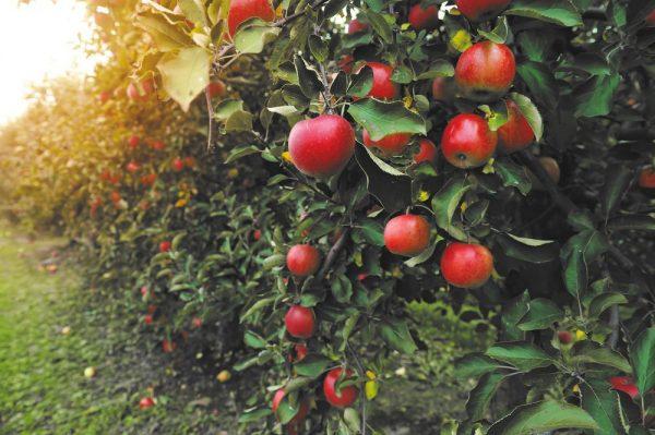 plantare-pomi-fructiferi