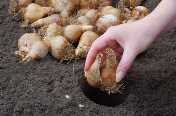 ai-rezultate-perfecte-daca-plantezi-bulbii-corect