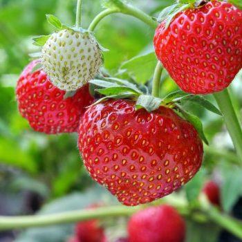 Cultura de căpșuni: sfaturi utile pentru cultivarea și îngrijirea plantelor
