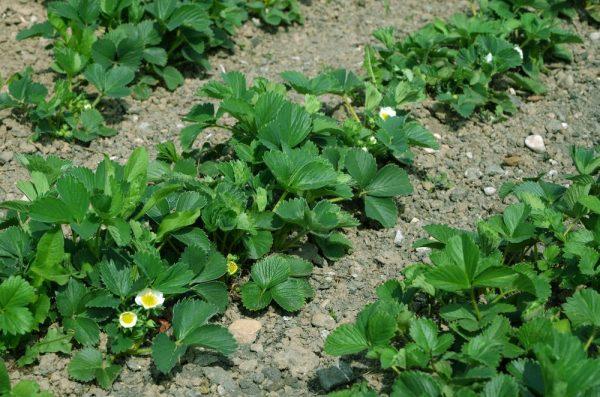plantare-capsuni-toamna
